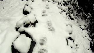 Bear tracks in the snow