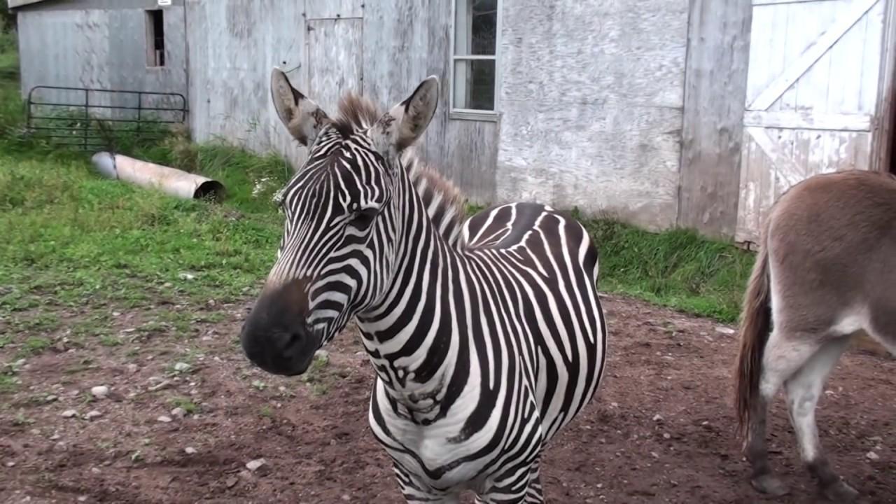 madagascar zebra - photo #37