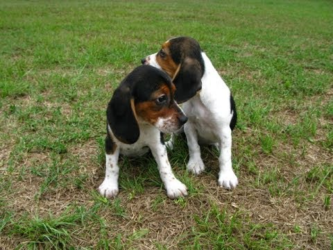 Beagle, Puppies, Dogs, For Sale, In Birmingham, Alabama ...