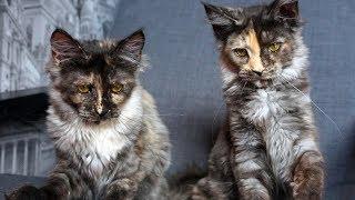 "Котята мейн кун онлайн. Maine Coon cattery ""Lovitven"" online - Saint Petersburg, Russia."