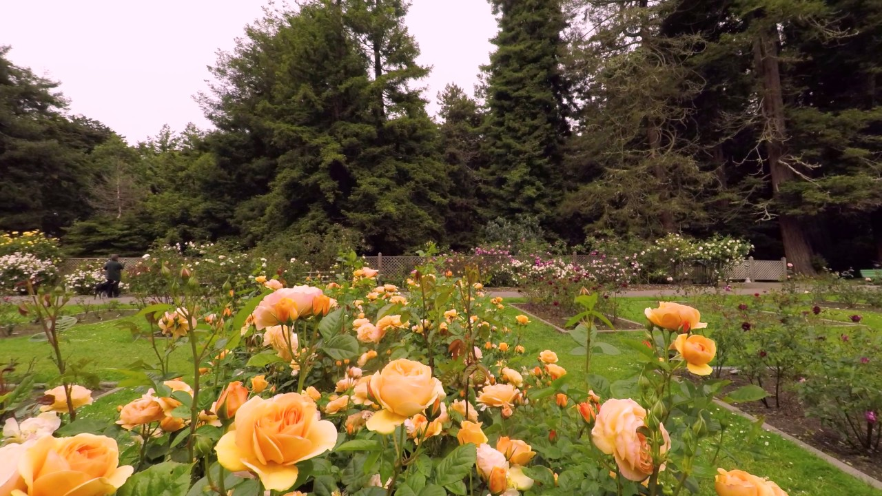 Rose Garden at Golden Gate Park 05 23 17 - YouTube
