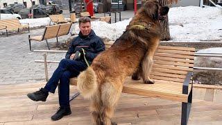 Леонбергер Михей 4 года 85кг. Leonberger Micah 4 years 85kg