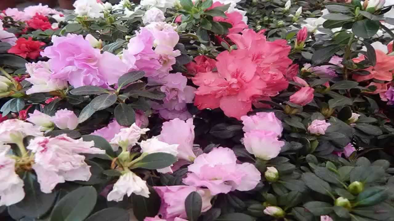 Mondini plantas como cultivar azaleia youtube for Como cultivar plantas ornamentales