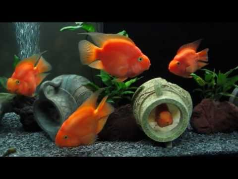 cichlasoma red parrot cichlid and tylomelania