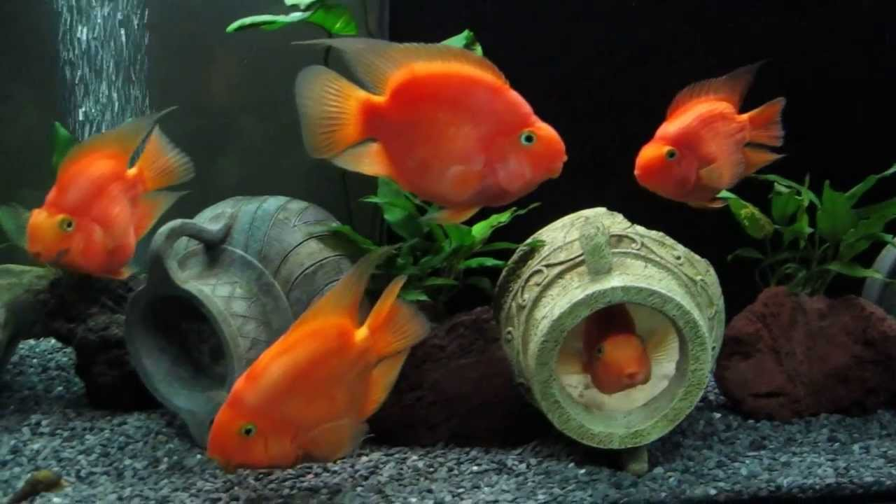 cichlasoma red parrot cichlid and tylomelania - YouTube
