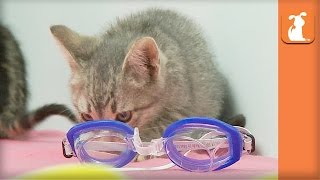 Adorable Kittens Play With Goggles - Kitten Love