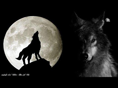 حقائق لا تعرفها عن الذئاب |  أسرار 'الذئب' الأكثر دهاءً والأكثر وفاءً بين الحيوانات