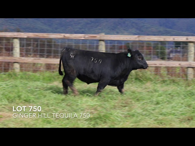 Ginger Hill Angus Lot 750