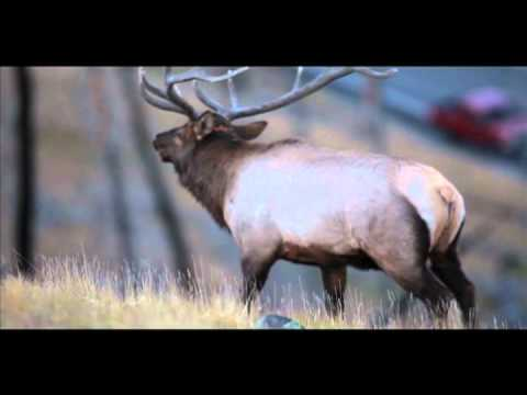 Yellowstone Bull Elk in the Rut.mov