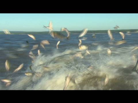 Battling The Asian Carp Invasion