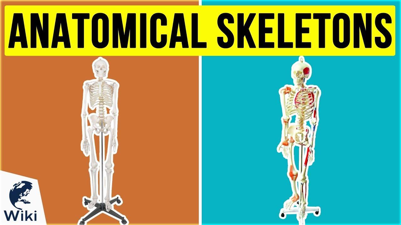 Human Skeleton//Skeletons Disassembled Life-Size