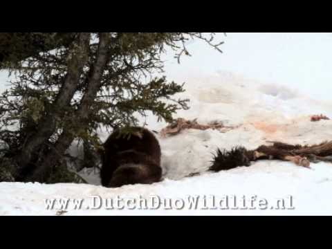 tough life of a grizzly bear in Yellowstone