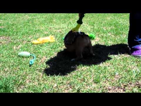 Mauiexpo's Hugo Boss English bulldog puppies for sale 786-206-9330