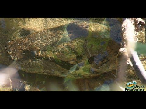 Sucuri Gigante, Pescador encontra com Cobra no Estado do Mato Grosso.