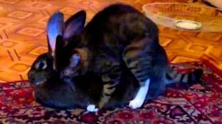 кот жарит кролика