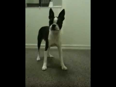 Boston Terrier throws a temper tantrum! Funny!