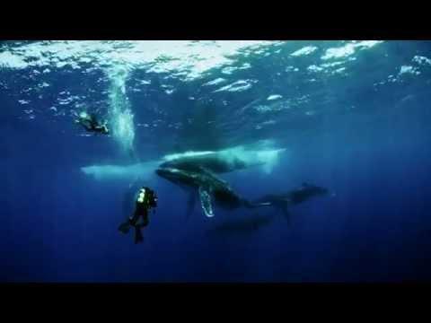 Humpbacks in Tonga—Behind the Scenes of Humpback Whales IMAX® 3D
