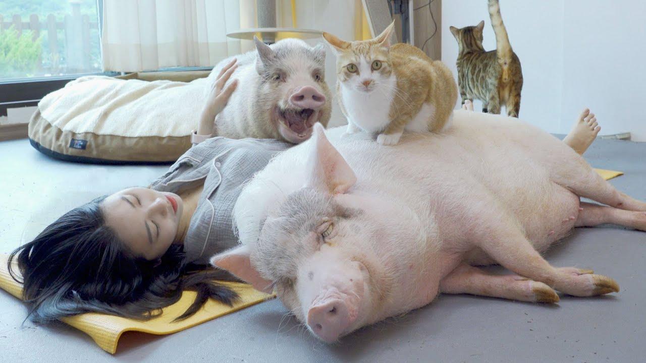 누워만 있을 때 돼지와 고양이의 반응