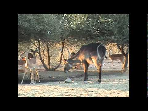 Motsomi Safaris South Africa Bow Hunting Waterbuck Tecce