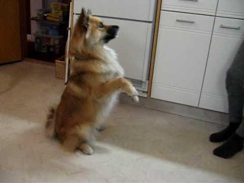 Koli - dog tricks
