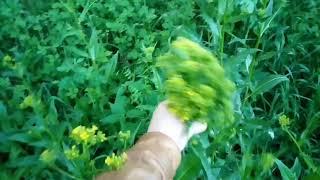 Еда под ногами. Свербига - прекрасная салатная трава с остринкой.