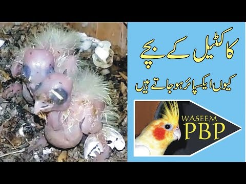 cockatiel ke baby expire kion ho jate hen   by waseem zia   urdu hindi