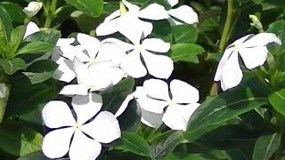 How To Grow Periwinkle Flower Gardening Sekho