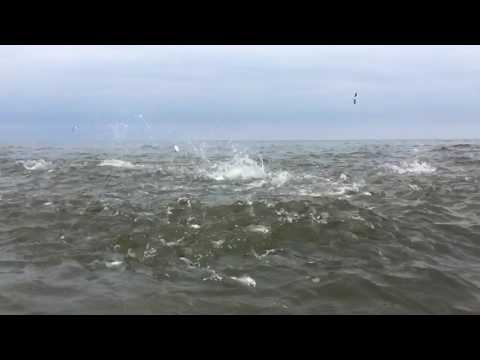 Striped bass fly fishing blitz New Jersey