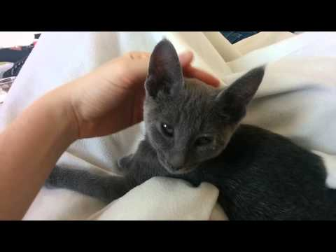 Poor Russian blue kitten Lena has cat flu