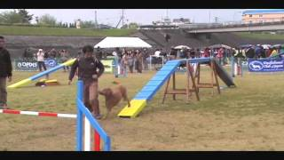 Opdes Agility Games - Asia Grand Prix - Dog Agility By Standard Poodle