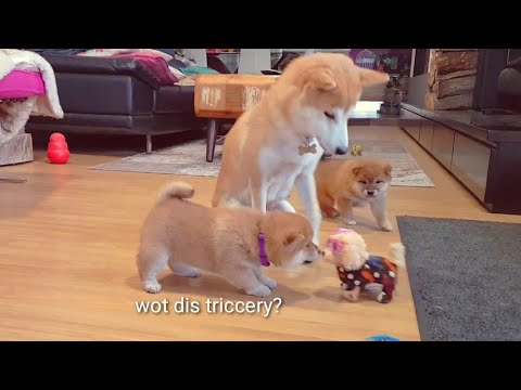 Who is dis 4th potat? Shiba Inu puppies (with captions)