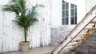 Kentia - Jardinería