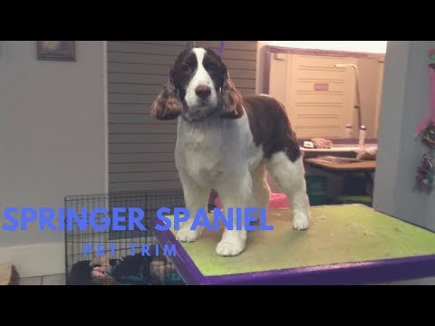 SPRINGER SPANIEL GROOMING: PET TRIM