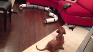 Собака и хорь