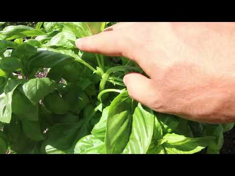 How to Prune Basil For Healthy Bushy Long Living Plants