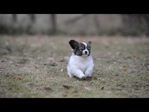 Cute Papillon puppy playing in outdoors