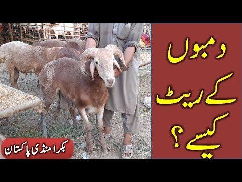 Turkey Dumbay in Lahore Bakra Mandi 2018 for Qurbani Eid 2018 - 2019 -  Bakraeid in Pakistan