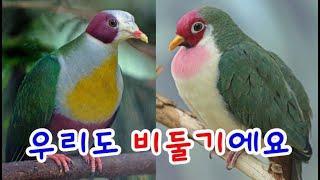 앵무새만큼 이쁘고 화려한 비둘기들에 대해서 [신비한조류사전]