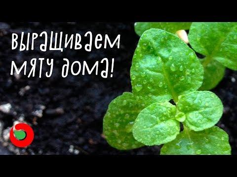 Как посеять мяту дома? Выращивание мяты на подоконнике из семян.