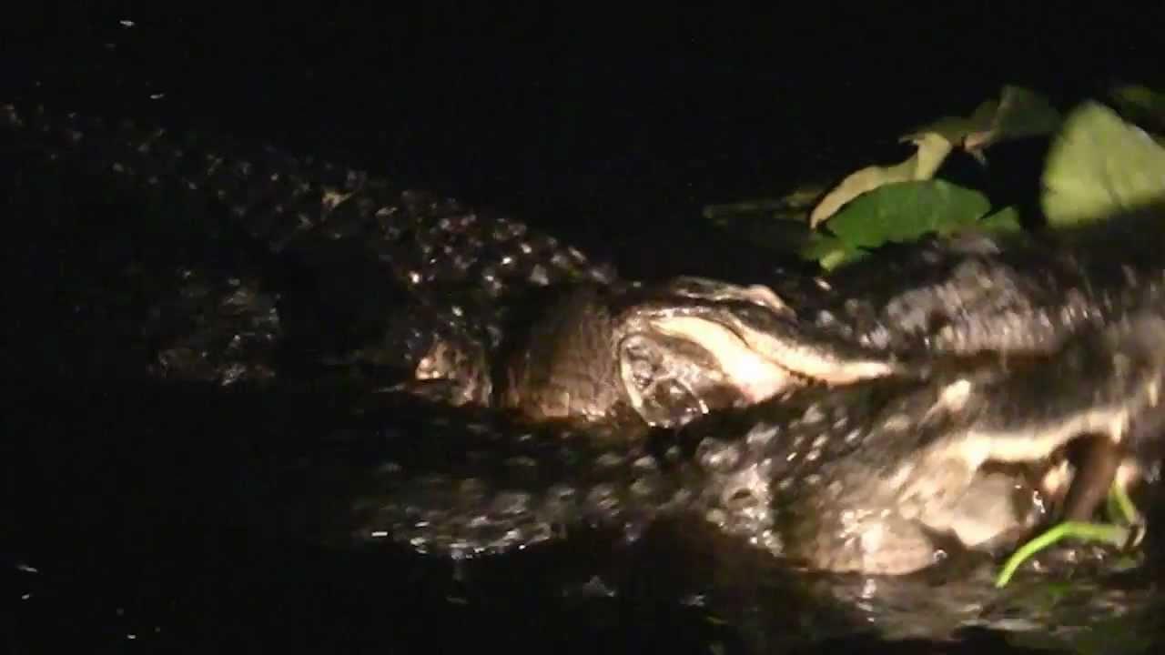 30 Foot Alligator Florida