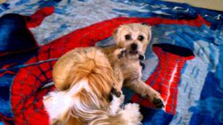 Shih Tzu And Border Terrier Playing Wrestling