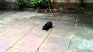 Teaching Scottish terrier to play fetch.mp4