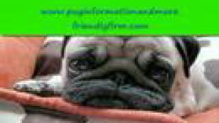 Cute Pug Picture Slideshow