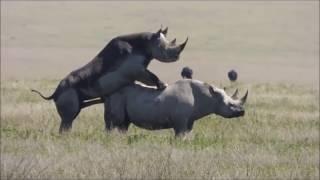 История любви является исключительным среди носорогов