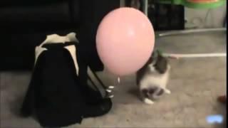 Коты лопают воздушные шарики! Приколы!