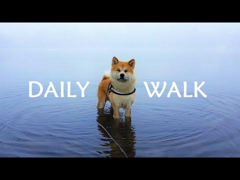 Akita Inu - A Daily Walk (秋田犬)