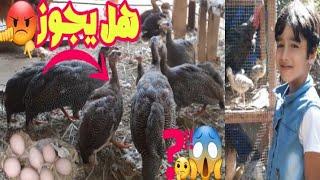نقل دجاج الفرعوني الشبابي لبيت اكبر تربيه كتاكيت الدجاج الفرعوني حضانه كتاكيت القبج
