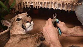 Маникюр для больших и маленьких котов. Manicure for big and small cats.
