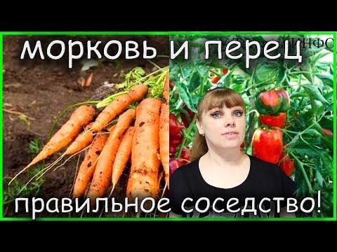 Правильное соседство МОРКОВИ и ПЕРЦА на грядках: что с чем можно сажать?!   совместимость   совмещенные   болгарский   растений   таблица   посадки   морковь   сажать   грядке   перец