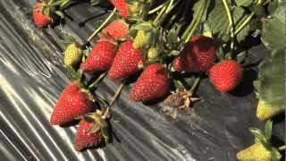 Strawberries In Season At U-Pick Farms Across Georgia